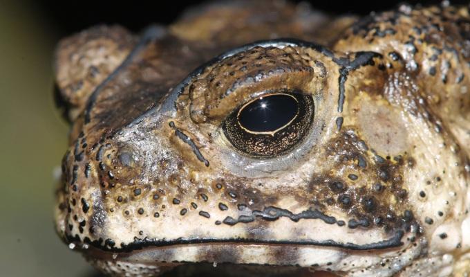Island-hopping toxic toad threatens iconic Komodo dragon –Mongabay
