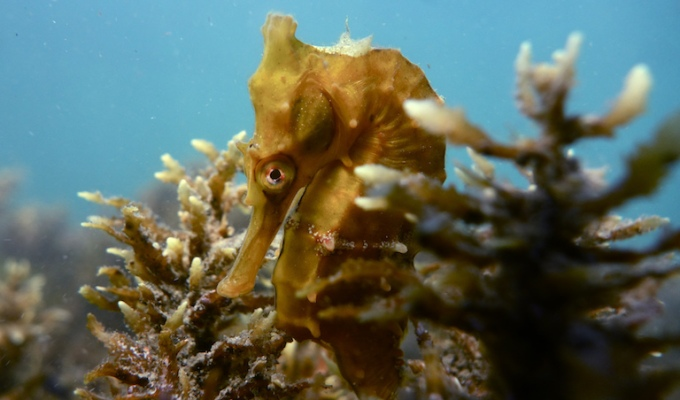 Catch-all fisheries are squeezing Asia's seahorses –Mongabay